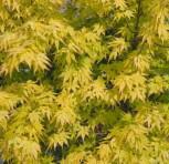 Fächerahorn Katsura 125-150cm - Acer palmatum