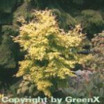 Fächerahorn Orange Dream 125-150cm - Acer palmatum
