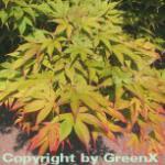 Fächerahorn Osakazuki 60-80cm - Acer palmatum