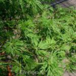 Geschlitztblättriger Fächer Ahorn Seiryu 80-100cm - Acer palmatum