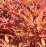Fächer Ahorn Skeeters Broom 100-125cm - Acer palmatum