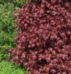 Spitzblättriger Ahorn Crimson King 125-150cm - Acer platanoides