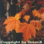 Rot Ahorn 100-125cm - Acer rubrum