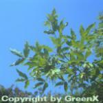 Dreiblütiger Ahorn 80-100cm - Acer triflorum