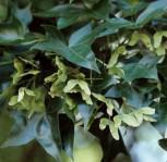 Chinesische Spitzahorn 60-80cm - Acer truncatum