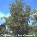 Roter Feld Ahorn 100-125cm - Acer zoeschense Annae