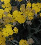 Goldquirlgarbe Moonshine - Achillea clypeolata
