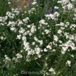 Schafgarbe - Achillea ptarmica