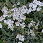 Serbische Schafgarbe - Achillea serbica