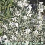 Schafgarbe Umellata - Achillea umellata