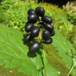Christophskraut schwarze Beeren - Actaea spicata