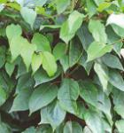 weibliche Mini Kiwi Ananasnays 60-80cm - Actinidia arguta