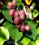 Traubenkiwi Red Jumbo 60-80cm - Actinidia arguta