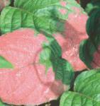 Schmuck Kiwi 40-60cm - Actinidia kolomikta
