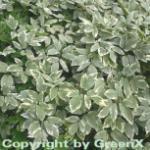 Weißer Giersch - Aegopodium podagraria