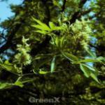 Roßkastanie October Red 100-125cm - Aesculus glabra