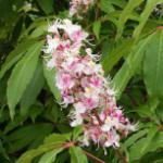 Indische Rosskastanie Sidney Pearce 60-80cm - Aesculus indica