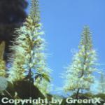 Strauch Kastanie 80-100cm - Aesculus parviflora
