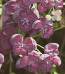 Klettergurke Blaugurkenwein 60-80cm - Akebia quinata