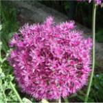 Zierlauch - Allium cernuum