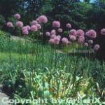 Riesenlauch - Allium giganteum