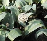 Zierlauch Ivory Queen - Allium karataviense
