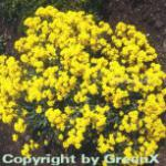 Steinkraut Goldkugel - Alyssum saxatile