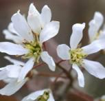 Erlenblättrige Felsenbirne 30-40cm - Amelanchier alnifolia