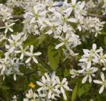 Felsenbirne Snowflakes 60-80cm - Amelanchier laevis