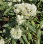 Perlkörbchen - Anaphalis margaritacea