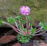 Tibet Mannsschild - Androsace sempervivoides