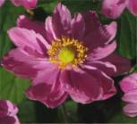 Anemone Pamina - Anemone japonica