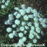 Balkanwindröschen White Splendour - Anemone blanda