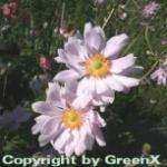 Herbstanemone Königen Charlotte - Anemone japonica
