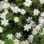 Buschwindröschen Nemorosa - Anemone nemorosa