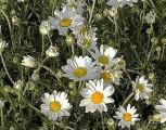 Hundskamille Karpartenschnee - Anthemis carpatica