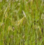 Wohlriechendes Ruchgras - Anthoxanthum odoratum