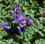 Zwergakelei Cameo Blau-Weiß - Aquilegia flabellata
