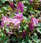Zwergakelei Spring Magic Rosa-Weiß - Aquilegia flabellata