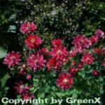 Akelei Ruby Port - Aquilegia vulgaris