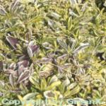Weissbunte Gänsekresse - Arabis ferdinandi