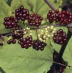 Japanische Aralie rote Beeren - Aralia racemosa