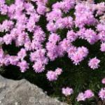 Grasnelke Röschen - Armeria juniperifolia