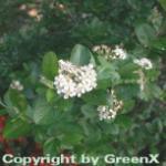 Apfelbeere 60-80cm - Aronia melanocarpa