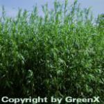 Deutscher Estragon - Artemisia dracunculus