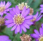 Wild Aster Asran - Aster ageratoides