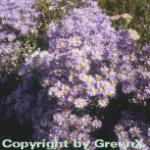 Sommeraster Blue King - Aster amellus