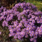 Sommeraster Breslau - Aster alpinus