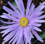 Sommeraster Silbersee - Aster amellus
