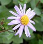 Sommeraster Sonia - Aster amellus